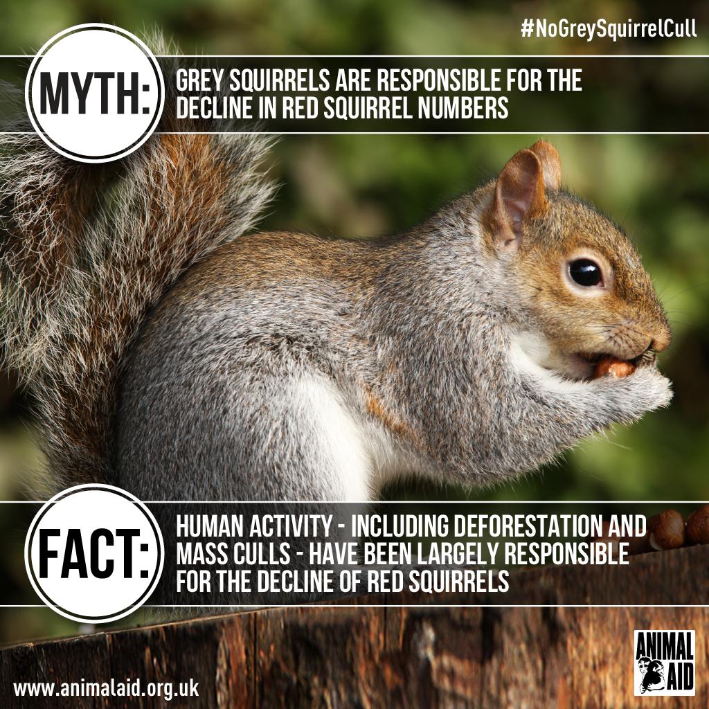 Grey squirrel myth vs fact