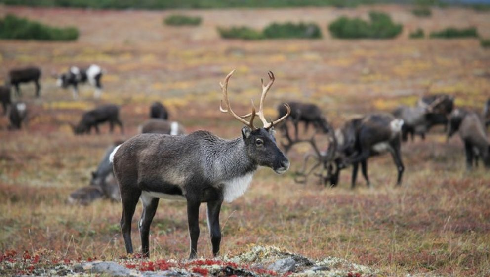 reindeer on the tundra
