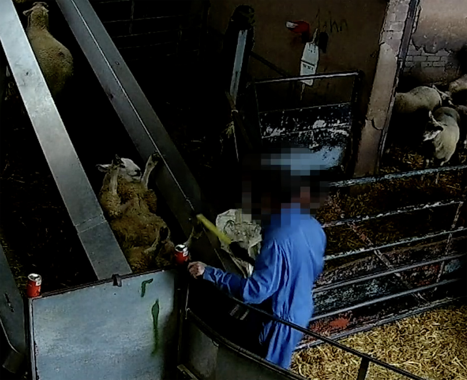 A sheep has been thrown on her back onto the conveyor belt